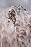 Gelo del Hoar o brina morbida sulle piante ad un giorno di inverno fotografia stock