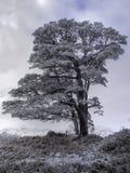Gelo del Hoar sull'albero solo Fotografia Stock