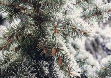 Gelo di inverno sul primo piano attillato dell'albero di Natale Fotografia Stock