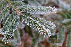 Gelo di inverno sull'albero attillato Fotografia Stock