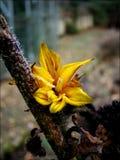 Gelo di mattina sul fiore giallo a gennaio immagini stock libere da diritti