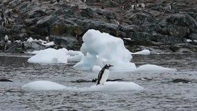 Gelo do nte do oo dos pinguins de Gentoo filme