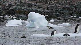 Gelo do nte do oo dos pinguins de Gentoo video estoque