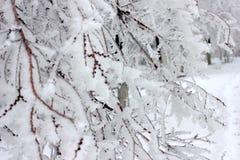 Gelo em um ramo Imagens de Stock