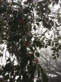 Gelo na árvore de azevinho imagens de stock