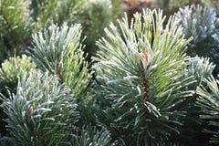 Gelo sugli aghi del pino Immagine Stock Libera da Diritti