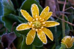 Gelo sul fiore giallo Fotografie Stock