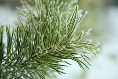 Gelo sull'albero di pino Immagini Stock