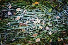 Gelo sull'erba Fotografie Stock