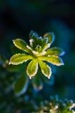 Gelo sulla pianta Fotografie Stock