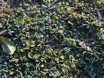 Gelo sulle piante Fotografie Stock