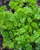Gelockte Petersilie, die im Hausgarten wächst lizenzfreies stockfoto