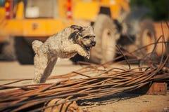 Gelockter brauner Hund, der auf eine Baustelle springt Stockfotos