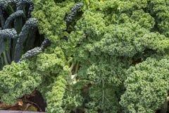 Gelockter frischer Kohl im Garten Lizenzfreie Stockfotos