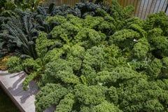 Gelockter frischer Kohl im Garten Lizenzfreie Stockfotografie