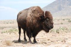 Gelockter gehörnter amerikanischer Büffel-Bison Stockbilder