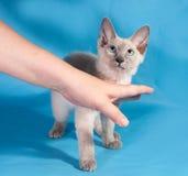 Gelocktes kleines kornisches Rex-Kätzchen mit blauen Augen auf Blau Stockbild