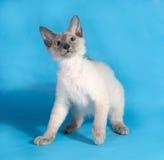 Gelocktes kornisches Rex-Kätzchen mit den blauen Augen, die auf Blau sitzen Stockfoto