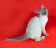 Gelocktes kornisches Rex-Kätzchen mit den blauen Augen, die auf Rot sitzen Lizenzfreies Stockbild