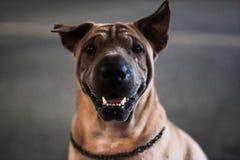 Gelovige hond stock foto