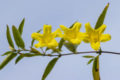 Gelsemium sempervirens yellow flowers Royalty Free Stock Images