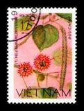 Gelso da carta (papvrifera) di Broussonetia, serie dei fiori selvaggi, ci Fotografia Stock