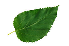 Gelso verde del foglio su priorità bassa bianca Fotografie Stock