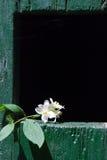 Gelsomino Fotografie Stock