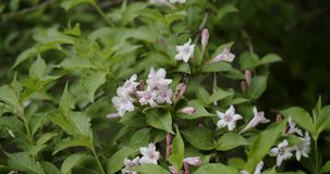 Gelsomino arancio, fiore arancio bianco del gelsomino con le foglie verdi che fioriscono nel giardino closeup archivi video