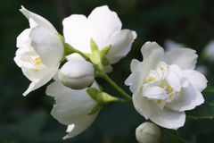 gelsomino del fiore Fotografia Stock Libera da Diritti