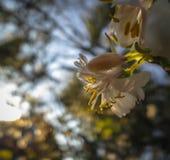 Gelsomino di gennaio o, dello standishii di fioritura di fragrantissima del Lonicera del caprifoglio di inverno del primo piano,  immagini stock
