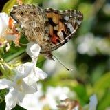 Gelsomino Farfalla su Fiore Стоковое фото RF