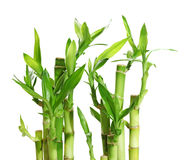 Gelukkig Bamboe Stock Afbeelding