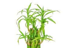 Gelukkig bamboe (dracaenasanderiana) Royalty-vrije Stock Fotografie