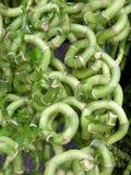 Gelukkig Bamboe - Juan Yu Stock Foto