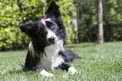 Gelukkig border collie-puppy in de tuin, met papillon in het hoofd Stock Foto