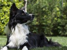Gelukkig border collie-puppy in de tuin, met papillon in het hoofd Stock Afbeeldingen