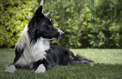 Gelukkig border collie-puppy in de tuin, met papillon in het hoofd Stock Afbeelding