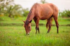 Gelukkig Bruin Paard stock afbeelding