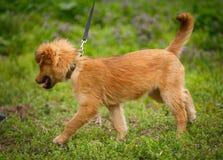 Gelukkig die puppy in motie wordt gevangen terwijl het lopen op trillend groen gras Stock Afbeeldingen