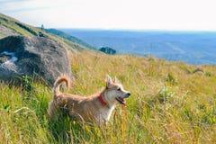 Gelukkig en heartily hond die bij bergen wandelen royalty-vrije stock foto