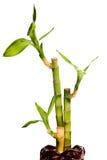 Gelukkig geïsoleerda bamboe Royalty-vrije Stock Foto