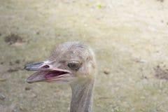 Gelukkig gezicht van de struisvogel stock afbeeldingen