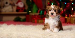 Gelukkig Havanese-puppy voor Kerstmis backgroud stock afbeeldingen