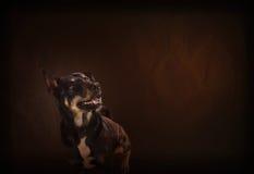Gelukkig het glimlachen van zwarte hond op klassieke en uitstekende kleurenachtergrond Stock Fotografie