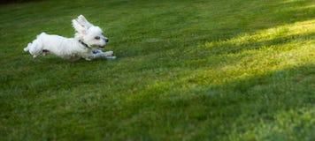 Gelukkig hondhuisdier die op een gazon lopen Stock Afbeeldingen