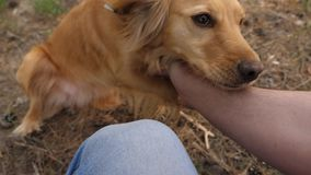 Gelukkig huisdier de hond speelt met de eigenaar de grappige hond glimlacht en toont tong groepswerkdier en mens de hond porde va stock video