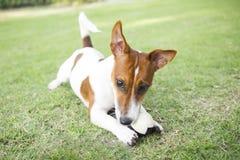 Gelukkig Jack Russell Terrier-puppy die een bal in de de zomerpa spelen stock afbeeldingen