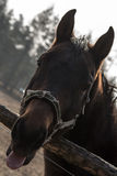 Gelukkig Paard Stock Afbeeldingen