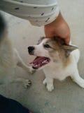 Gelukkig puppy mets zijn eigenaar Stock Fotografie